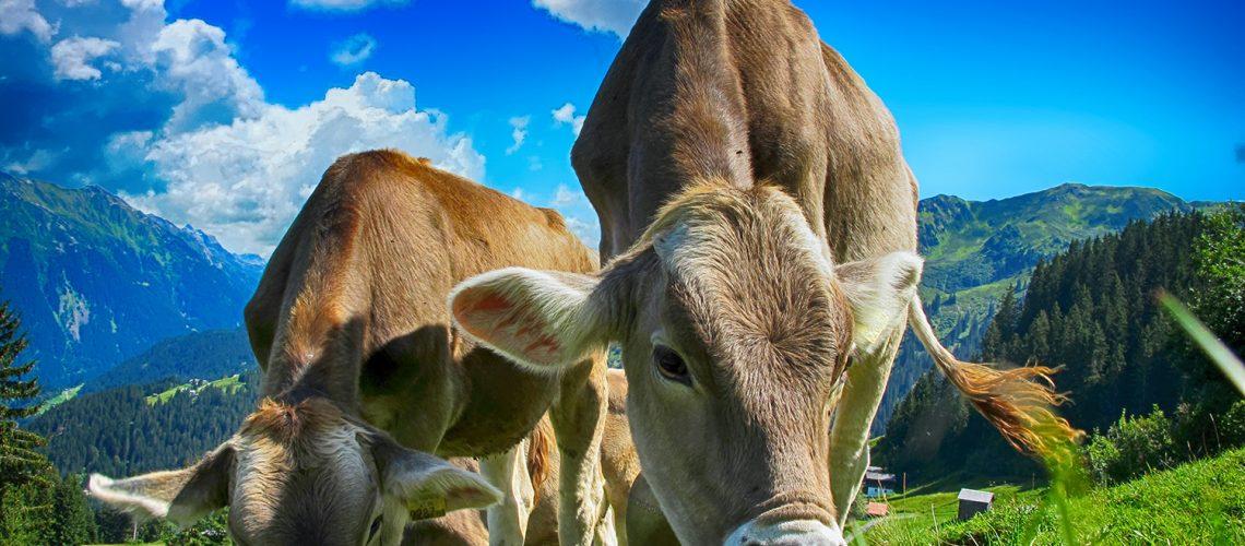cows-2641195-lr